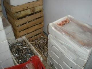 Sequestrati 550 chilogrammi di polpi. Il pesce è stato trovato senza etichettatura